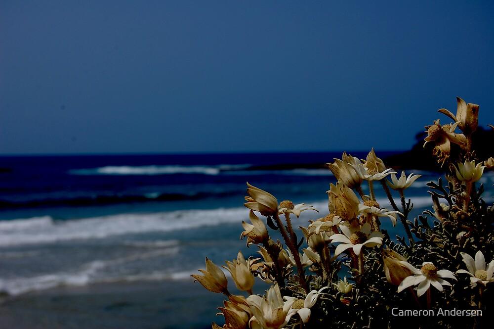 Flannel flower's. by Cameron Andersen