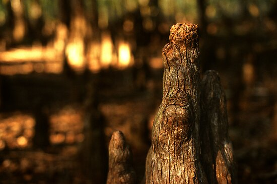 cypress knee swamp by J.K. York