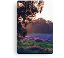 Pattersons Purple Weed At Sunset Canvas Print
