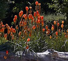 Torch Lilies by Maria A. Barnowl