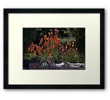 Torch Lilies Framed Print