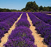 Lavender Rows by Maria A. Barnowl