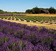 Lavender Farm by Maria A. Barnowl