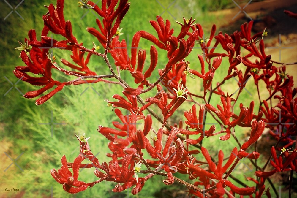 Kangaroo Paws by Elaine Teague