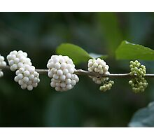 Berries Ripening from Green to White Photographic Print