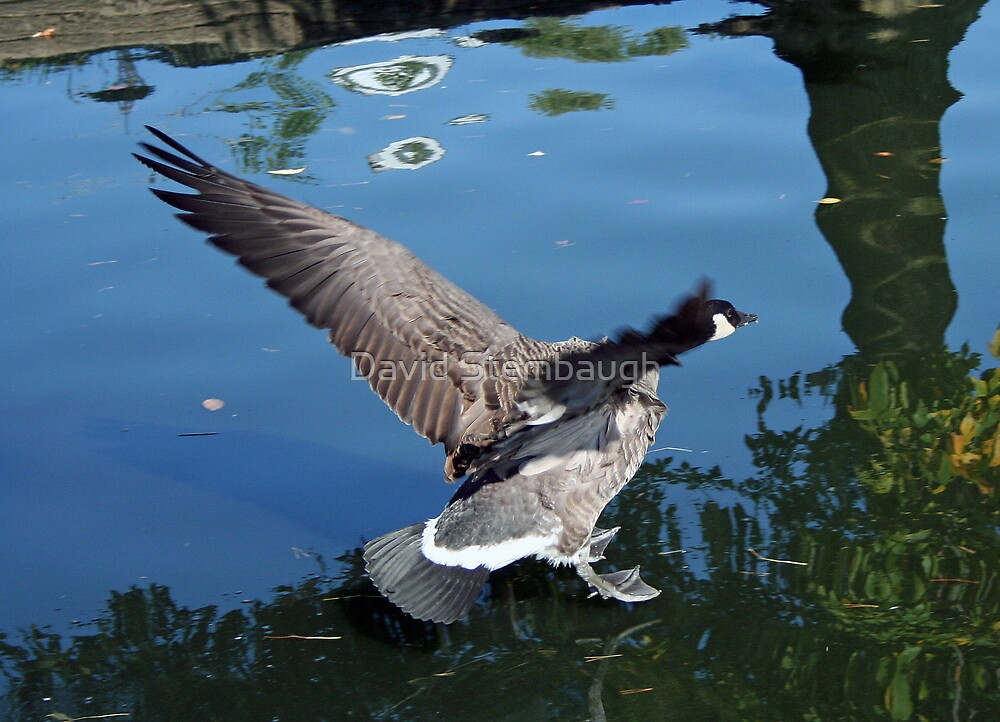 goose by David Stembaugh