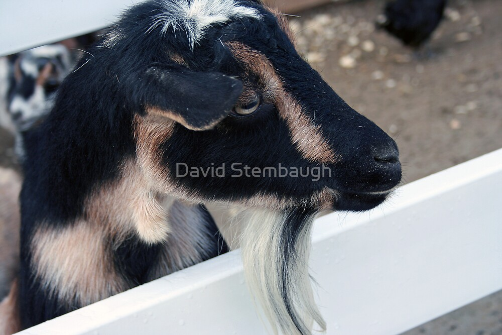 goat by David Stembaugh