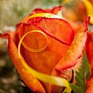 Party rose by PhotosByHealy