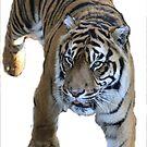Tiger 2 by Cherax
