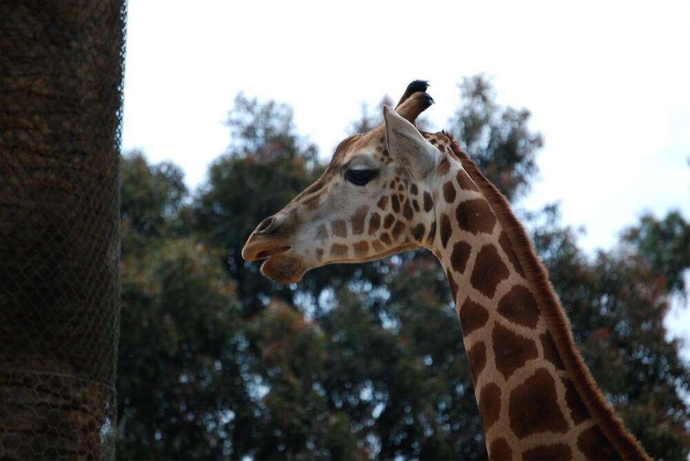 giraffe by Princessbren2006