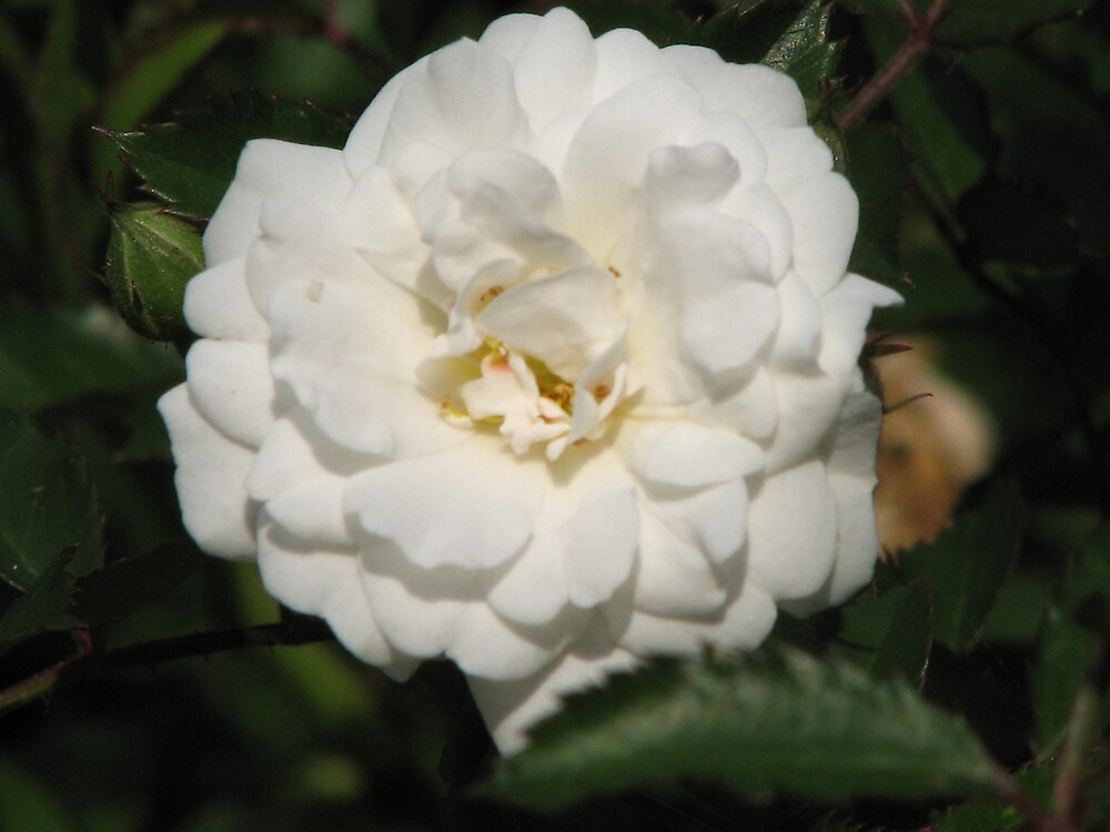 Fall White Rose by IndyLady