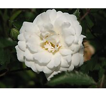 Fall White Rose Photographic Print