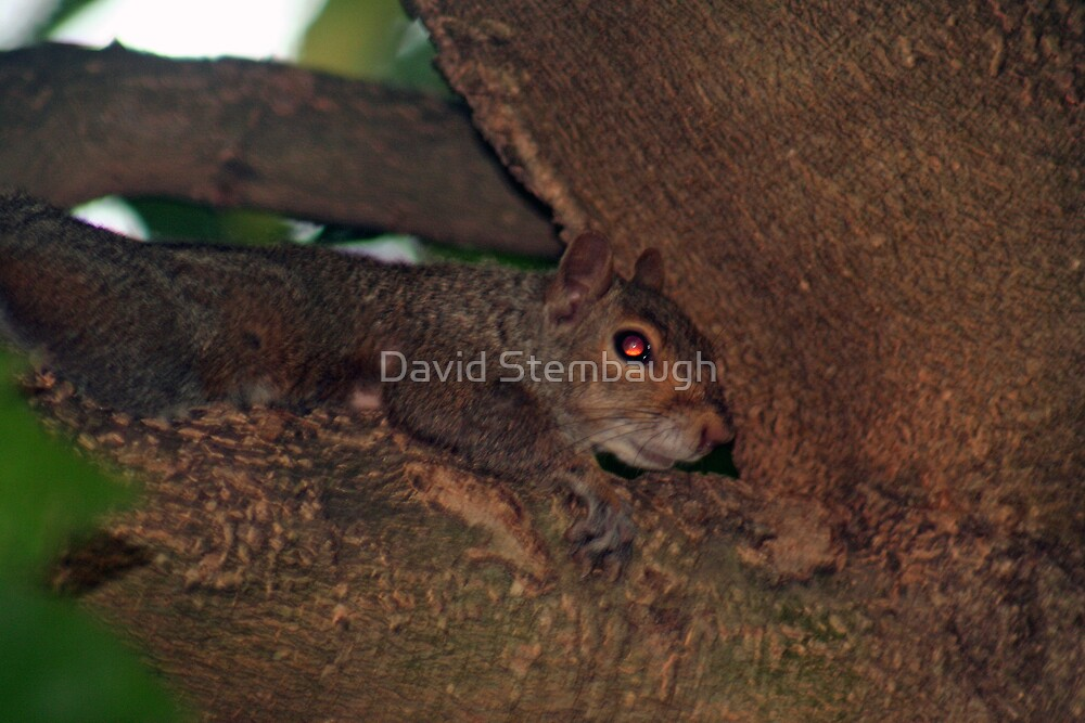 squirrel by David Stembaugh