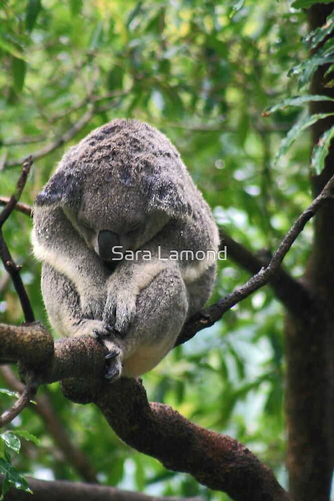 Koala in rain by Sara Lamond