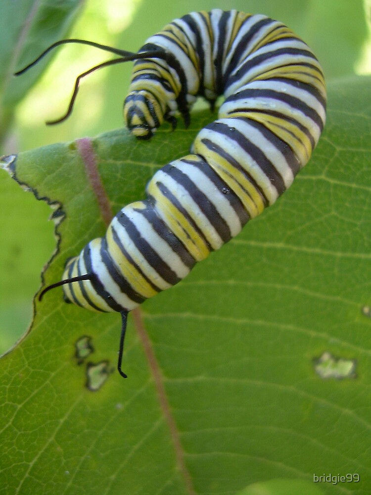 Monarch caterpillar by bridgie99