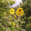 Sunflowers by James Brotherton