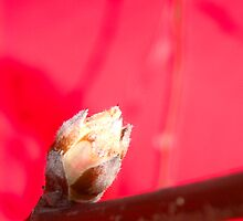 Apple Blossom Bud RED by Shara