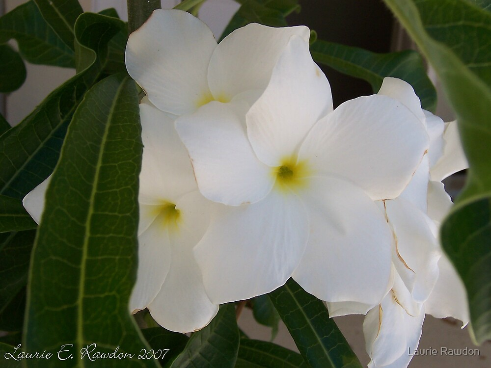 White Beauties by Laurie Rawdon