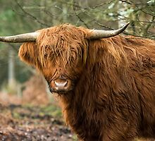 The Highland Cow  by Nick Jenkins