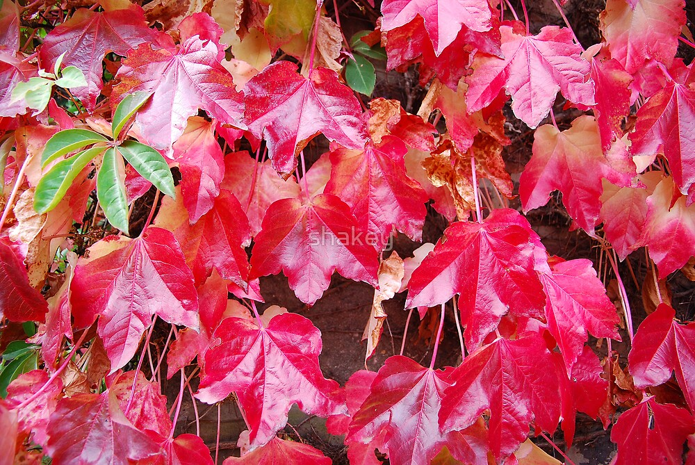 Red Leaves by shakey