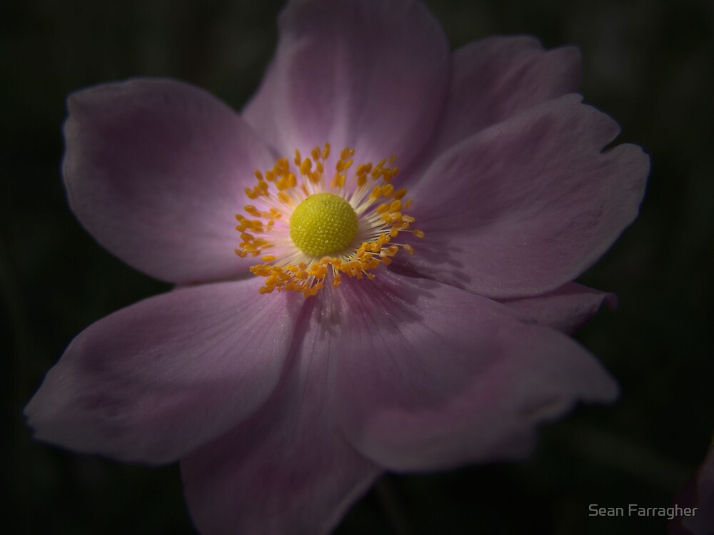 PINK FLOWER by Sean Farragher