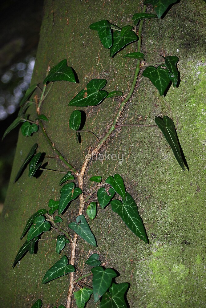 Ivy climbing tree by shakey