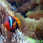 orange anemone fish look out by jenitae