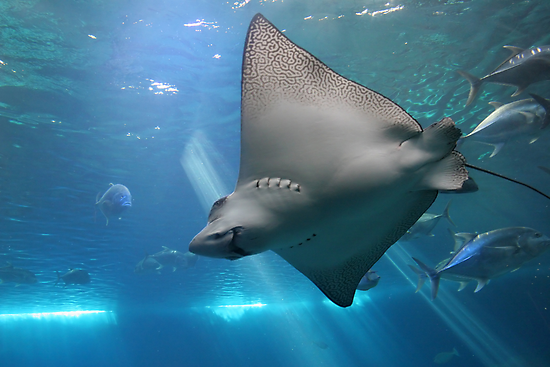 Spotted Eagle Ray by Christophe Testi