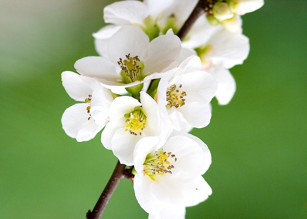 Cherry blossom by henleyhelen