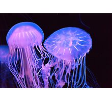 Pacific Sea Nettles Photographic Print