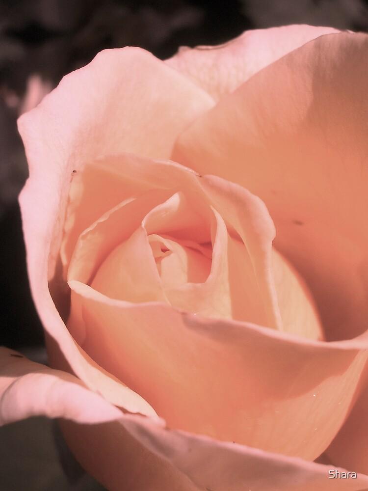 Peach Rose by Shara