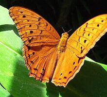 Cruiser Butterfly Melbourne Zoo I by Tom Newman
