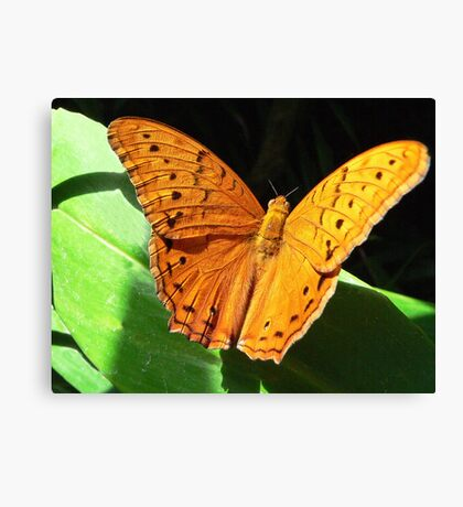 Cruiser Butterfly Melbourne Zoo I Canvas Print