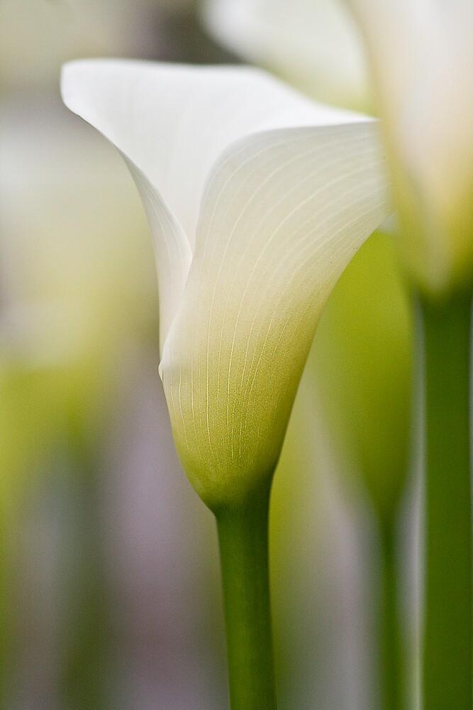 Lillies by henleyhelen