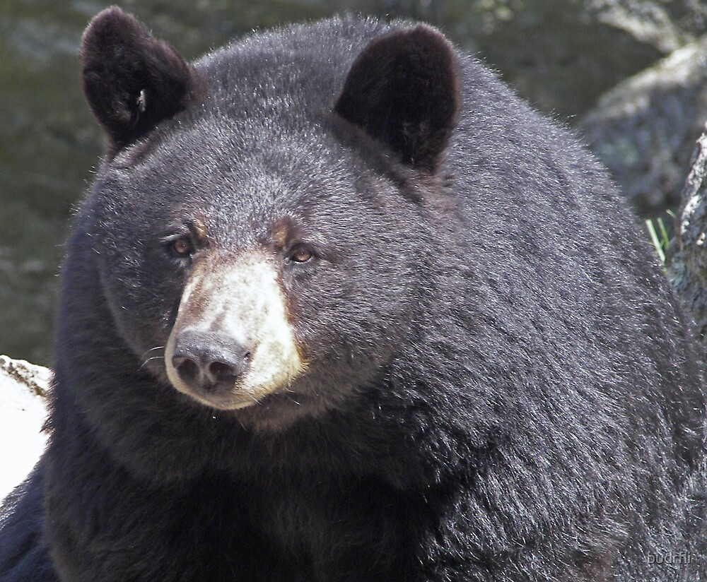black bear, black bear... by budrfli