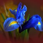 Blue Velvet by Joyce Knorz
