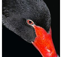 Black Swan. Photographic Print