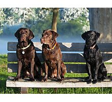 lovely labradors Photographic Print