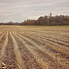 Corn Rows by AbigailJoy