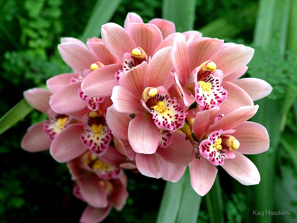 Pink Orchid Blush by Kay Hawkins