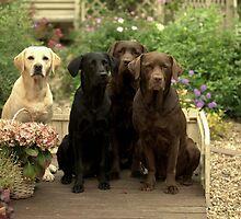 4 labradors by claireliz