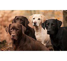 four labradors Photographic Print