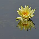 Water lily of Dal Lake by Brian Bo Mei