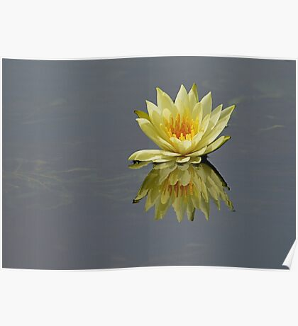 Water lily of Dal Lake Poster