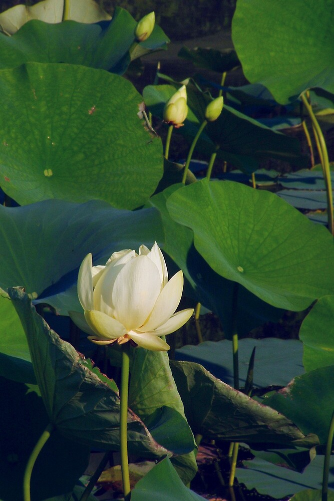 Water Lilies by Paul S.  Atkinson