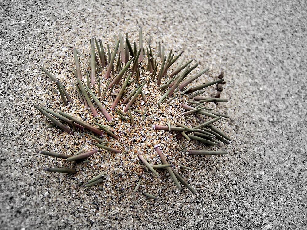 Sand Urchin by Gavin