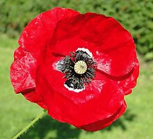 The Red Poppy by Barrie Woodward