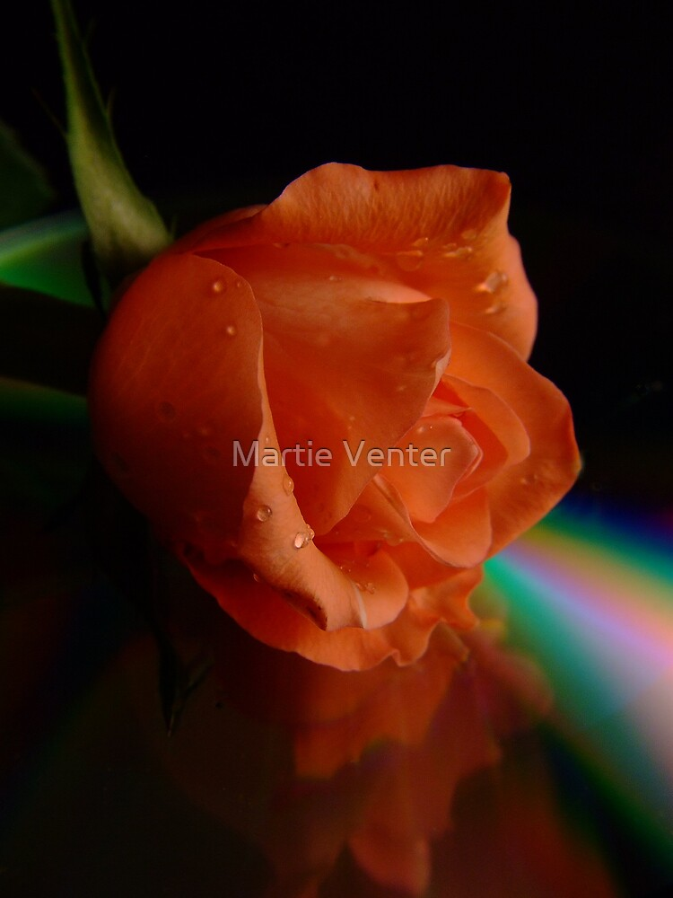 Rainbow Rose by Martie Venter