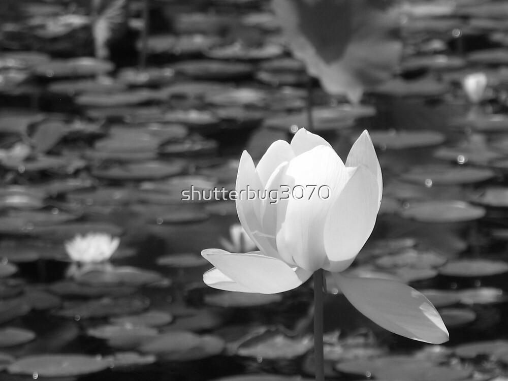 Lotus Pond by shutterbug3070