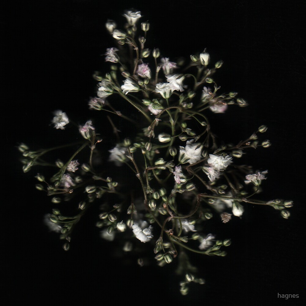 Baby's Breath by hagnes